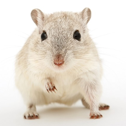 Plaga de Ratón doméstico
