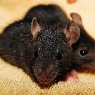 Plaga de Ratas negras